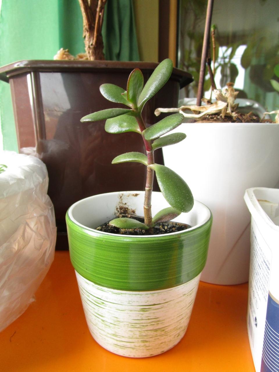 Neka biljka u saksiji